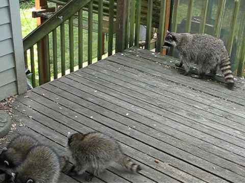 Racoons in Lake Forest Park WA