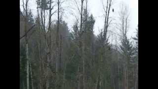 Bald Eagles on Puyallup river