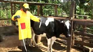Shamba Shape Up clips - Cows Health deworming