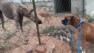 Indian dog breed vs foreign dog breed(boxer vs kanni)