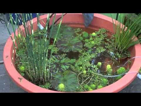 736 small tub pond and some water plants carls aquarium for Using pond water for plants