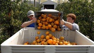 Florida Oranges | ABC News