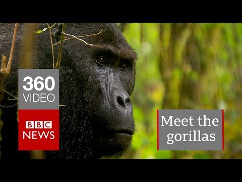 In 360: Gorillas of the Congo – BBC News
