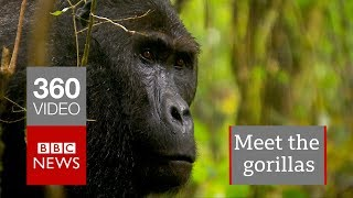 In 360: Gorillas of the Congo - BBC News