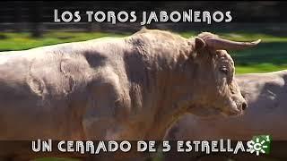 Toros jaboneros en el cerrado de lujo de Prieto de la Cal | Toros desde Andalucía