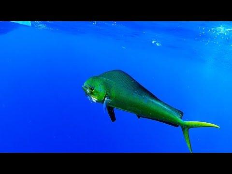 Pesca De Dorado En Puerto Rico Runny Nose 2 Youtube