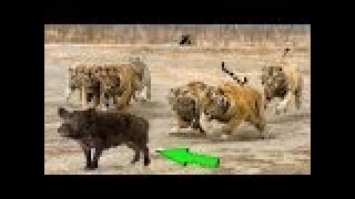 TİGER vs WİLD BOAR Real Fight ►► Lion Leopard Wild Dogs Deer Buffalo Snake Hippo - Animal Attacks