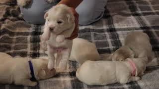Coton Puppies For Sale - Foxy 7/13/21