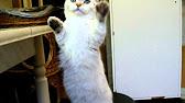 Купить шотландского котенка? Котята для Вас! Котята шотландские .