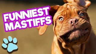 Funniest Mastiffs of April 2018 | Funny Dogs Compilation | #thatpetlife