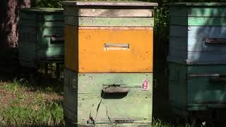 Моя  пасека  на 20  мая  2019г  Праздник  пчелы