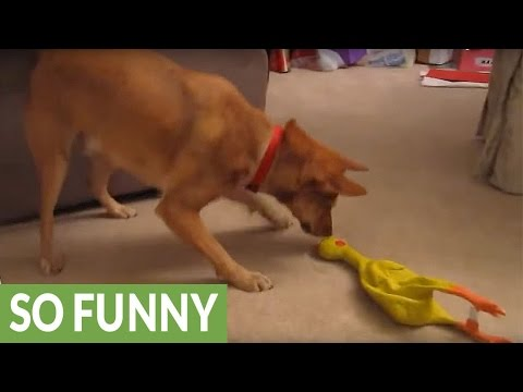 Confused dog hates rubber chicken