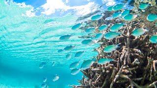 宮古島の綺麗な海の中でデバスズメダイが 泳ぐ姿を撮影しました。 優し...