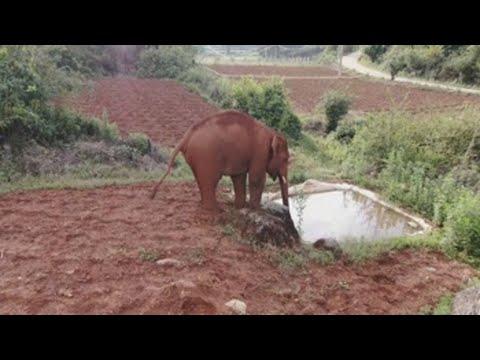 La odisea sin fin de los elefantes salvajes que yerran por China