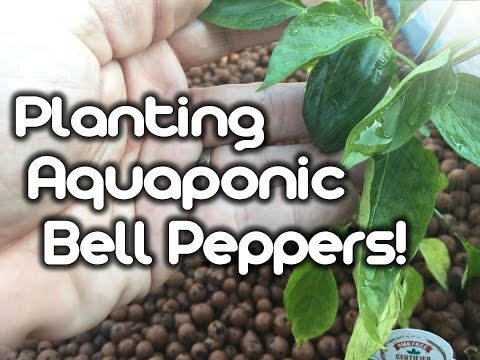 Aquaponic Bell Peppers – (Planting)