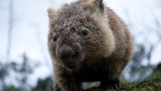 Wild Tasmania - Куница встречает Вомбата [Part 2]