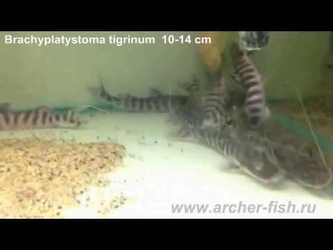 Brachyplatystoma Tigrinum (Merodontotus Tigrinus)