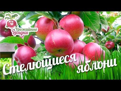 Стелющиеся яблони. Прививка плодовых деревьев #urozhainye_gryadki
