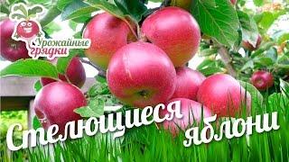 видео Арония черноплодная » Садоводу, дачнику, огороднику.