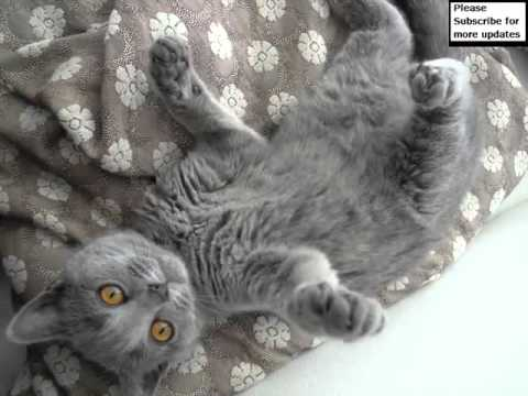 Chartreux Kitten | Collection Of Cat Pictures