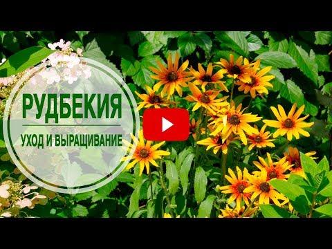 Что посадить в клумбе? 🌺 РУДБЕКИЯ 🌺 Особенности выращивания