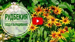видео Рудбекия. Выращивание из семян и основной уход