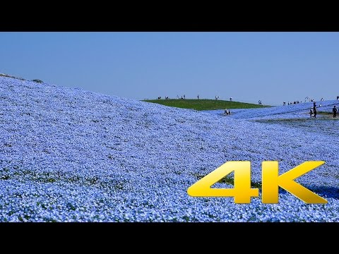 Hitachi Seaside Park : Nemophila Harmony - Ibaraki - ひたち海浜公園 - 4K Ultra HD