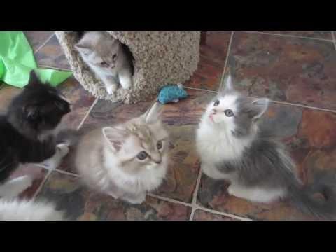 Playful Ragdoll Kittens Mink & Solid