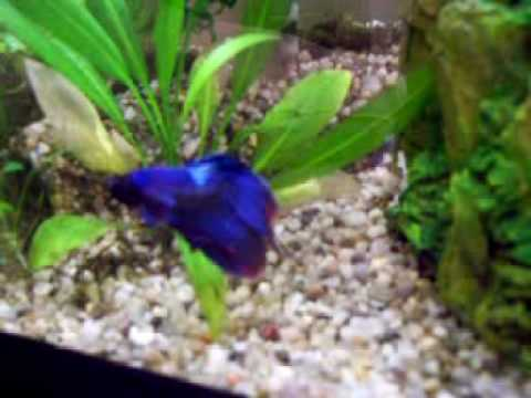 My Betta Little Guy Exploring His Cave Tunnel Youtube