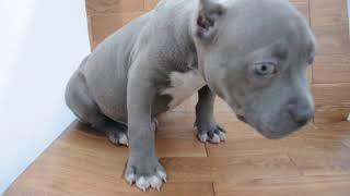 アメリカンピットブル子犬!!<子犬の利根リバーサイド・http://www.to...
