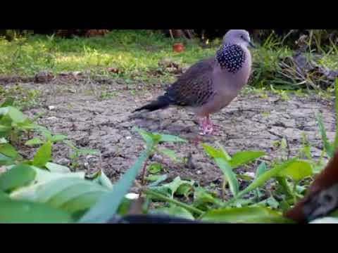 Suara Burung Tekukur Di Alam Bebas
