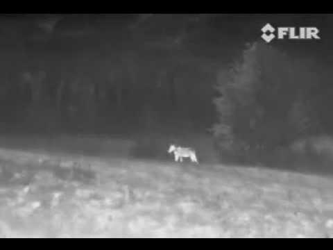 eac68fd35addc FLIR Thermal Moose Footage - YouTube
