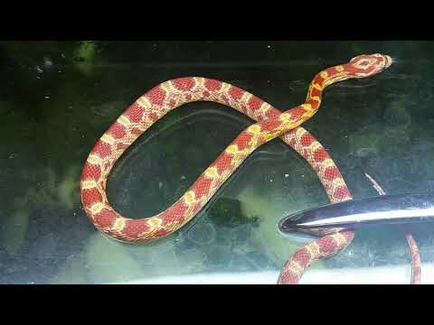 Female Ultramel Corn Snake