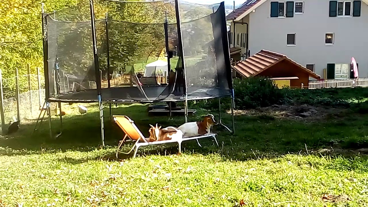Chèvre sur chaise longue - YouTube on chaise sofa sleeper, chaise recliner chair, chaise furniture,