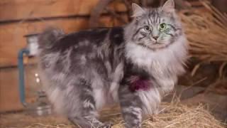 Котята курильского бобтейла (1,5 месяца)