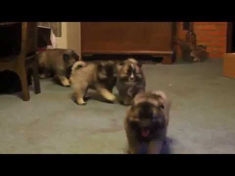 Keeshond Mix Puppies For Sale