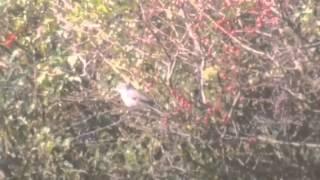 Video Masked Shrike - Kilnsea (East Yorkshire) download MP3, 3GP, MP4, WEBM, AVI, FLV April 2018