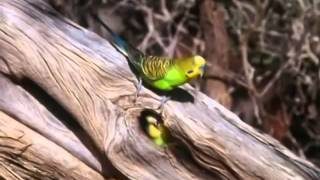 BBC documentary 2014 The Wild Bush Budgie Nature Documentary