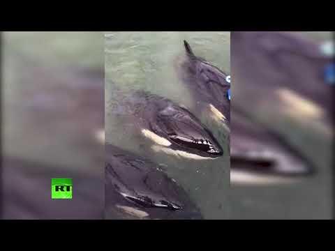 В Приморье специалисты осмотрели детёнышей косаток и белух из «китовой тюрьмы» — видео