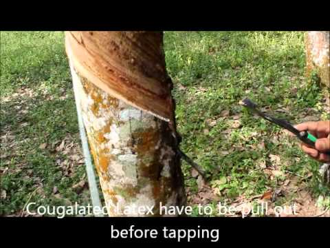 TUTORIAL : How to tap a rubber tree using upward rubber tapping knife