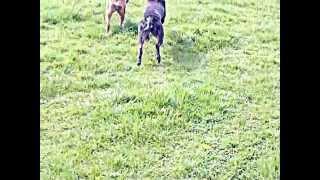 Swatt Dogs Alano Cross Tia Playing With Staffy Marley(rip  Moo)