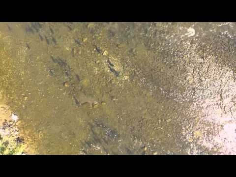 Salmon run from DRONE