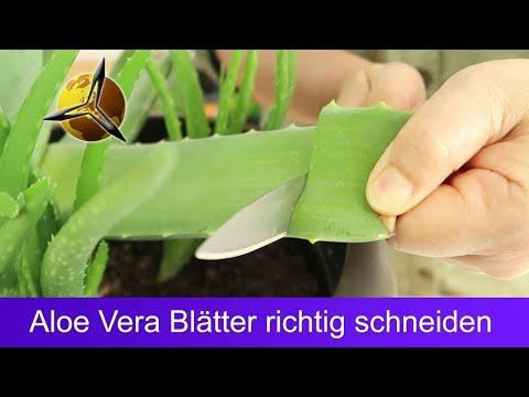 Aloe Vera Blätter schneiden & aufbewahren