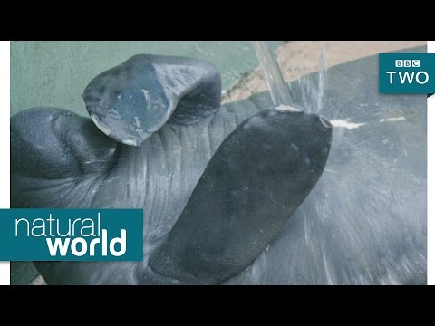 Manatee pimple popping - Natural World 2017: Episode 2 Preview - BBC Two