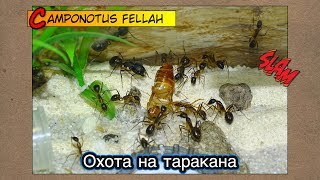 Охота на таракана ● Camponotus fellah