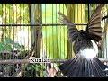 Kutilang Garudaaaa Buka Suara Gacor Ampuh Untuk Pancingan Kutilang Macet  Mp3 - Mp4 Download