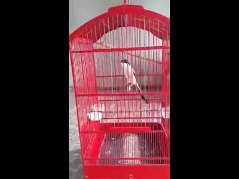 Suara Kicau Burung Cendet Madura Isian | Burung Pentet Gacor