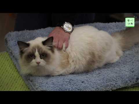 Рэгдолл – лучшая кошка для семьи?