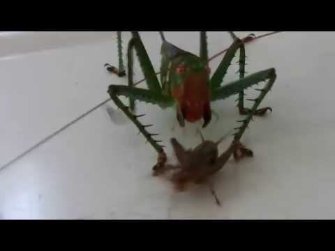 Crazy Katydid chases a cricket - real life pokemon