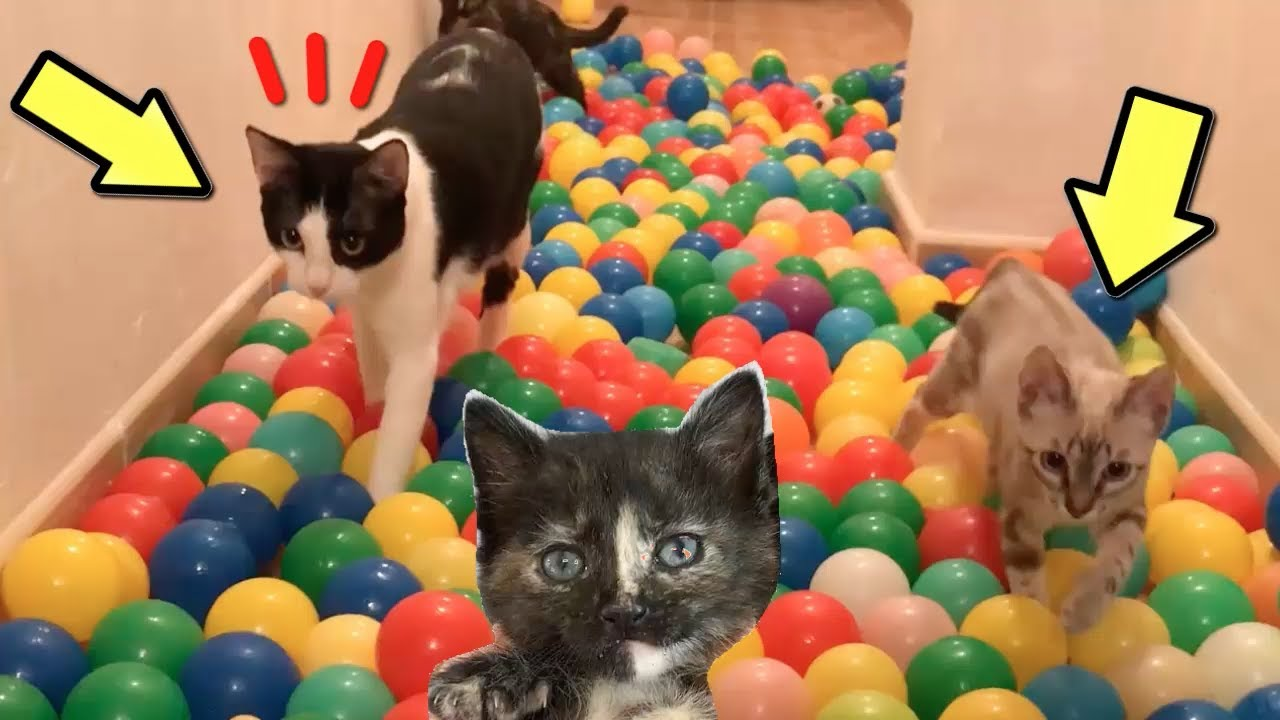 Gatos Luna y Estrella en el desafío de pelotas de colores con las gatitas / Videos de gatitos